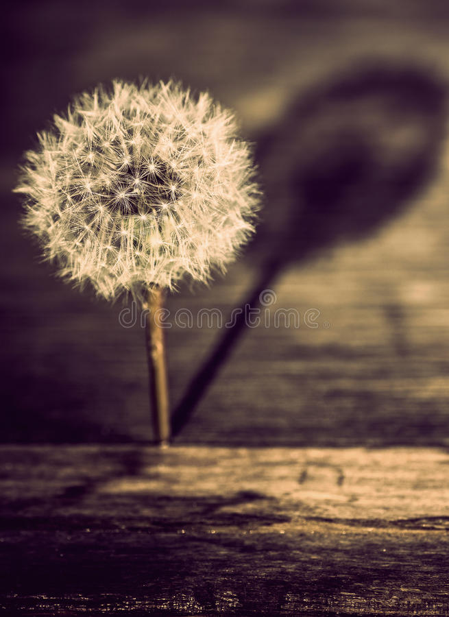Dandelion casting a shadow royalty free stock images