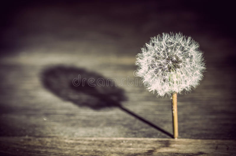 Dandelion casting a shadow. Closeup of a dandelion flower with a seed head casting a shadow on a wooden background stock photography