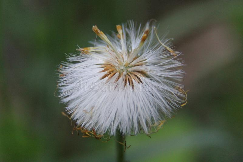 The dandelion ceased to bloom. White parachutes. Photo 1 stock photo