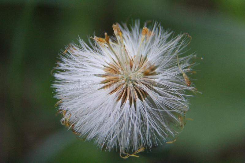 The dandelion ceased to bloom. White parachutes. Photo 2 royalty free stock photo
