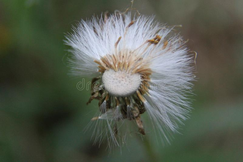 The dandelion ceased to bloom. White parachutes. Photo 3 stock photography