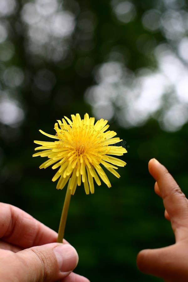 Dandelion child stock photo