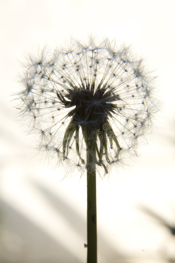 Dandelion Clock 11. Close up / macro silhouette image of a dandelion clock, the dried flower with seeds stock images