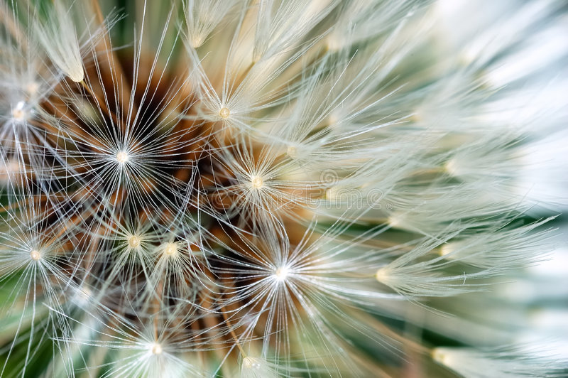 Dandelion clock. Close-up: is a globe of fine filaments that are usually distributed by wind; last stage of development of Dandelion flower. Family: Asteraceae stock photography