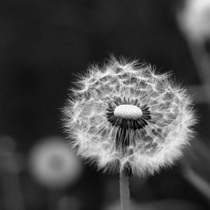 Free Dandelion Clock Stock Images - 3104334