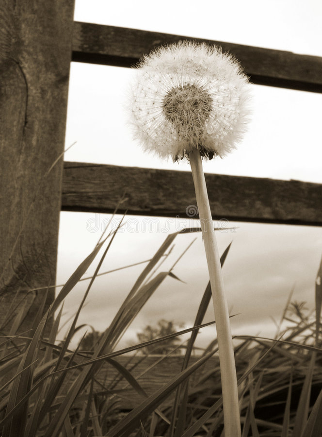 Dandelion clock. Sepia toned close-up of dandelion clock with wooden fence stock photography