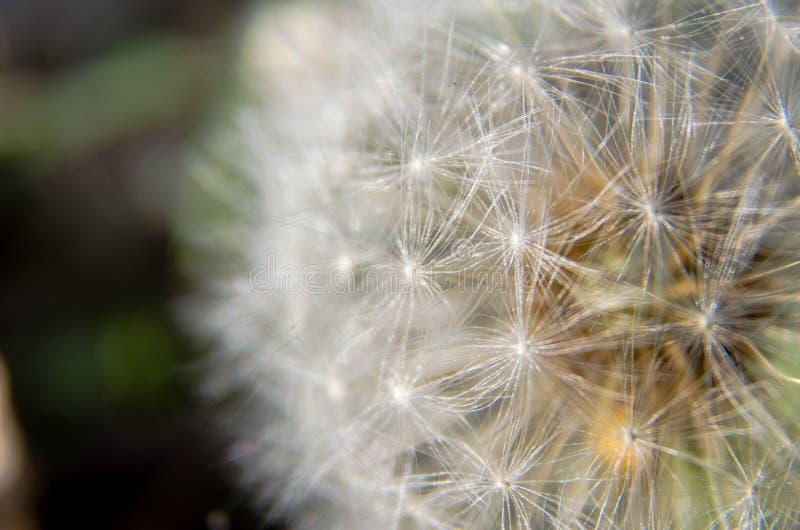 Dandelion 'clock' closeup stock image