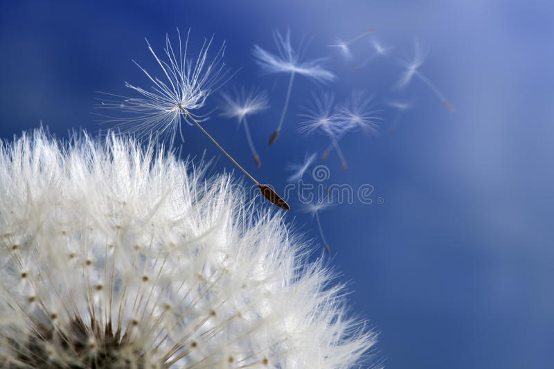 Dandelion clock dispersing seed royalty free stock photos