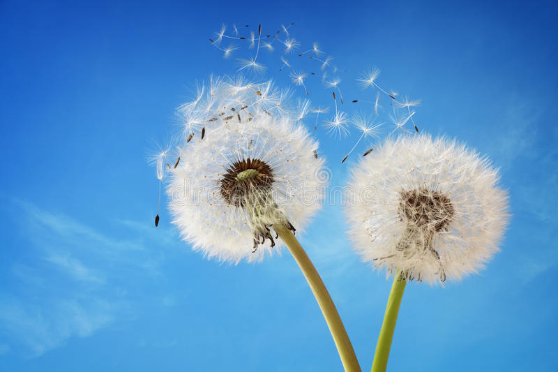 Dandelion clock dispersing seed stock photography