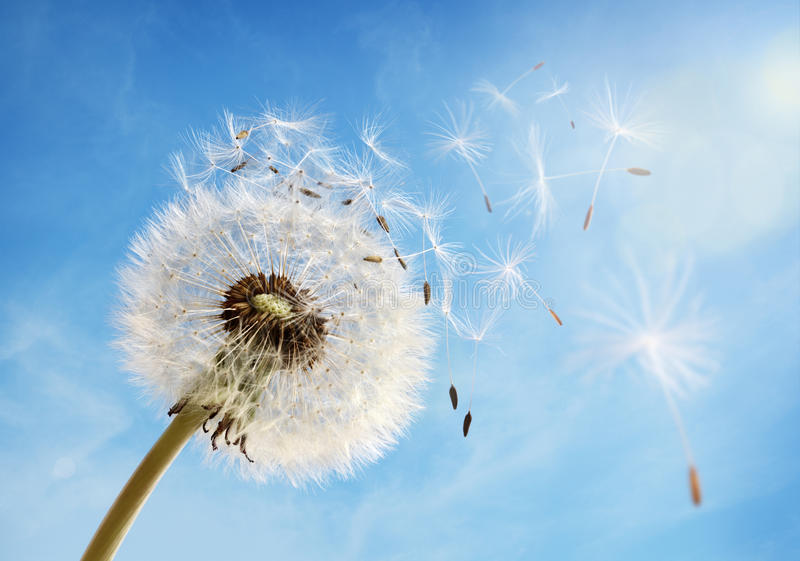 Dandelion clock dispersing seed royalty free stock images