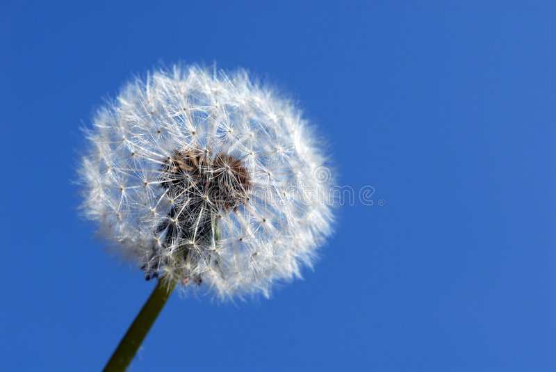 Dandelion clock flower. Close up of seeded clock head of Dandelion flower, isolated on blue background royalty free stock image