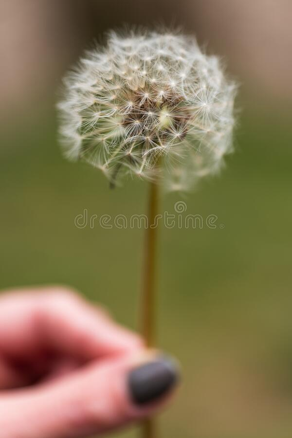 A Dandelion Clock Flower in hand. A close up of a dandelion clock held in a womans hand royalty free stock photo