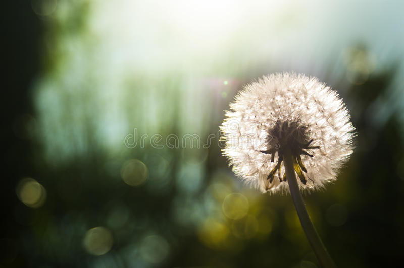 Dandelion clock flower. With a nice sun t background royalty free stock photography
