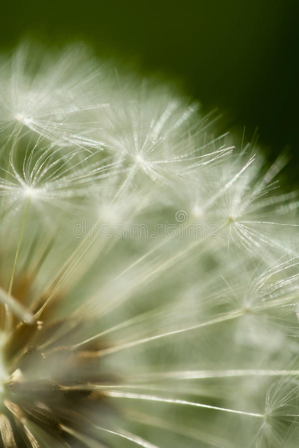 Dandelion clock head royalty free stock photos