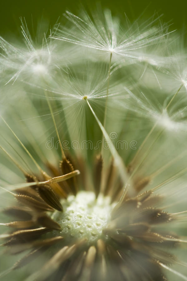Dandelion clock head royalty free stock images