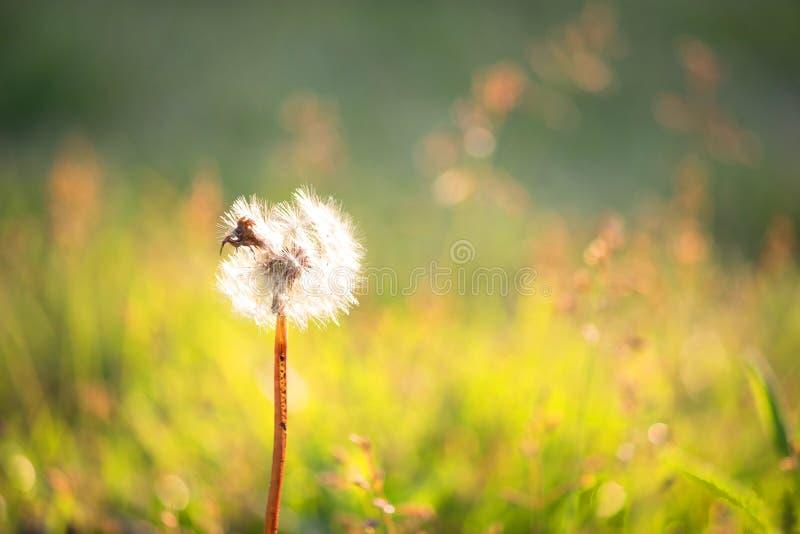Dandelion clock in morning. In warm sunlight royalty free stock image