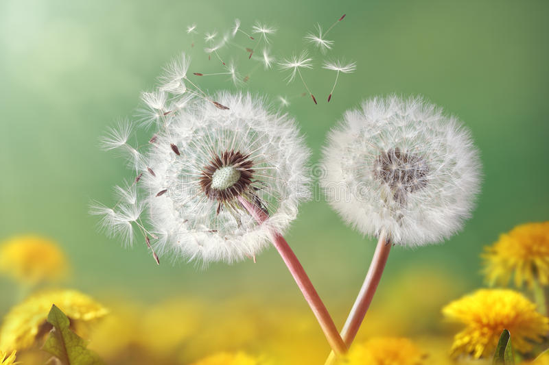 Dandelion clock in morning light royalty free stock photos