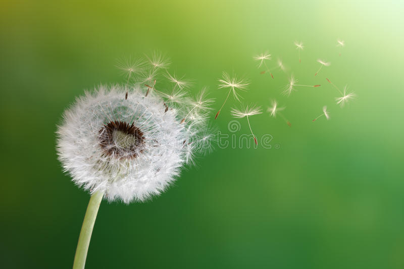 Dandelion clock in morning sun stock images