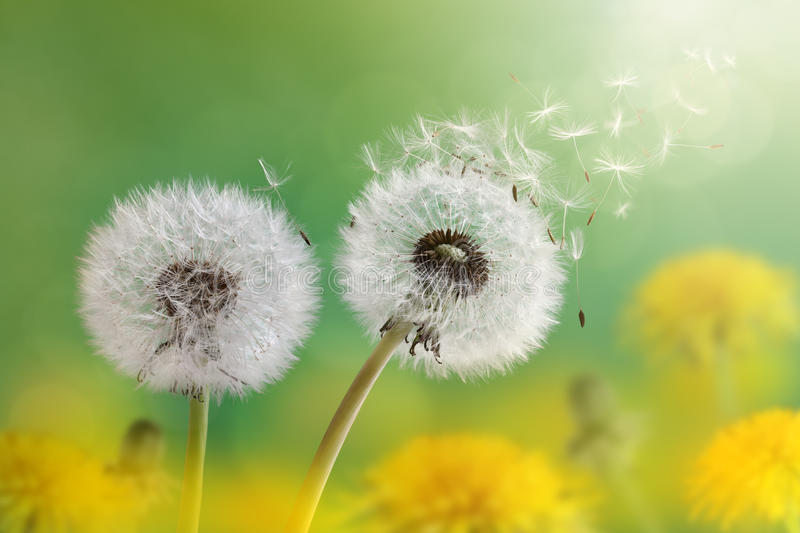 Dandelion clock in morning sun. Dandelion seeds in the morning sunlight blowing away across a fresh green background stock photography