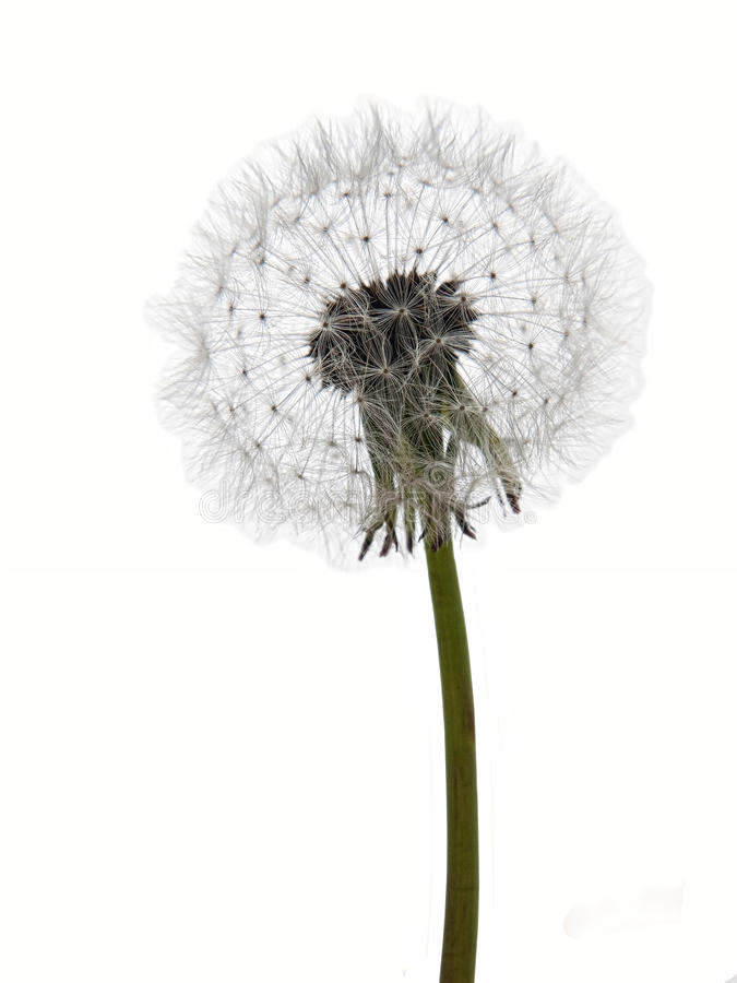 Free Dandelion Clock Seedhead Isolated On White Royalty Free Stock Photography - 19124647