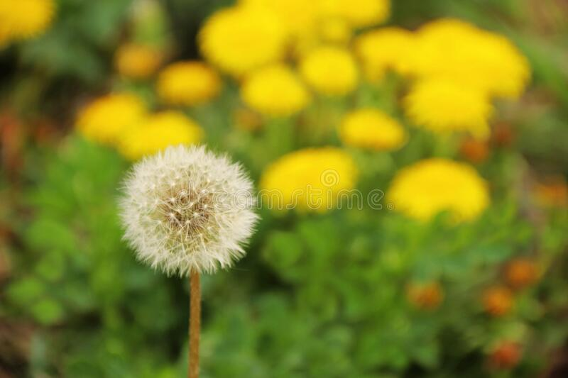 Dandelion clock with seeds in front of blooming dandelions. Close-up of a white dandelion clock with seeds in front of yellow blooming dandelions stock photo