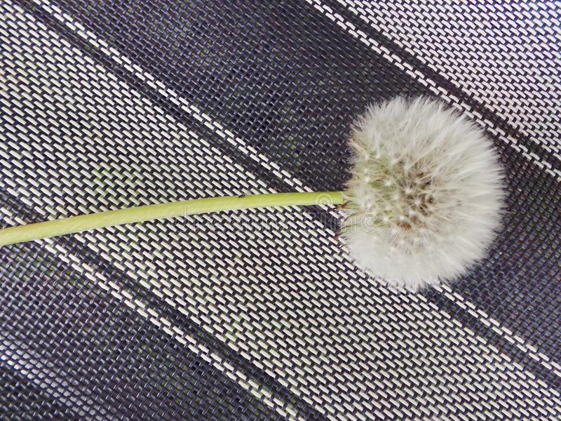 Dandelion clock on a striped background. Close up seeds grass stock photo