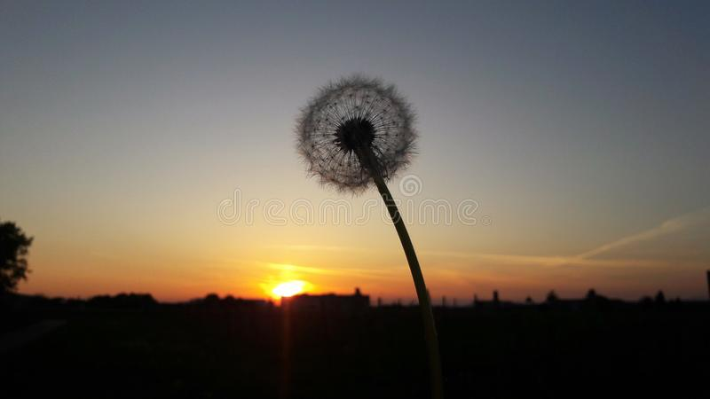 Dandelion clock with sunset. And clear sky stock images