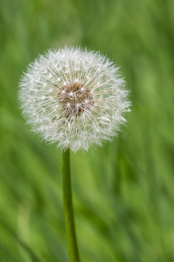 Dandelion clock. (Taraxacum officinale) against a blurred, natural background stock photography