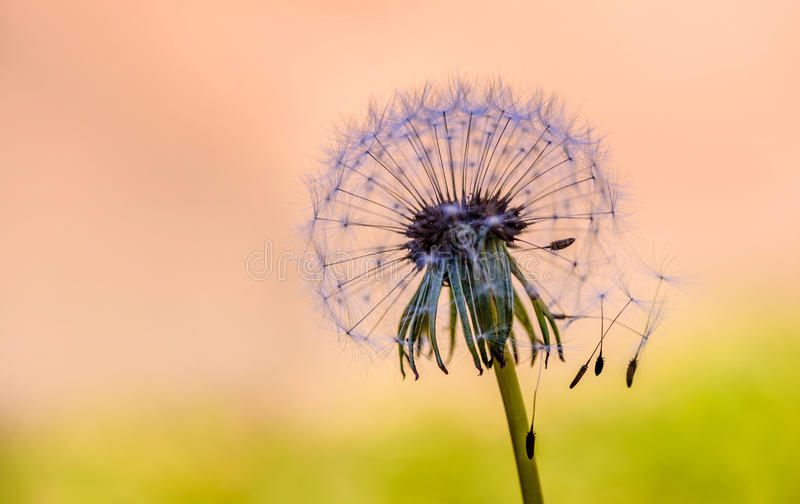 Dandelion close up with abstract color in the background royalty free stock image