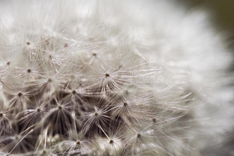 Dandelion Close Up. Beautiful Seeding Dandelion Flower With Shallow Focus in Macro Closeup. royalty free stock photo