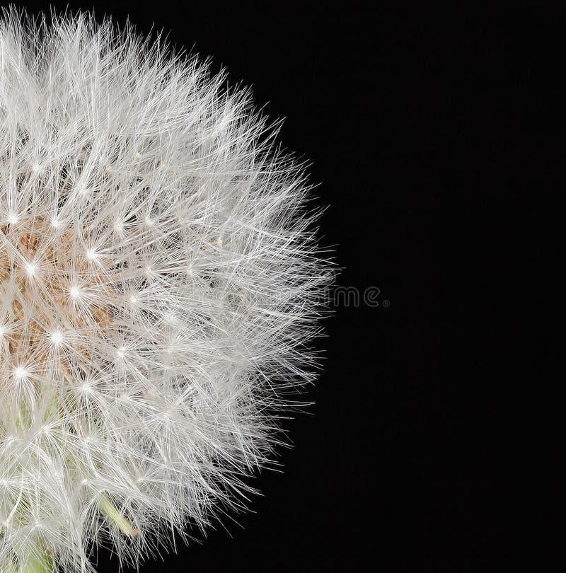 Dandelion. Close up macro shot stock image