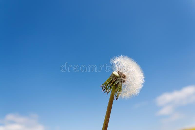 Dandelion closeup against the blue sky stock photography