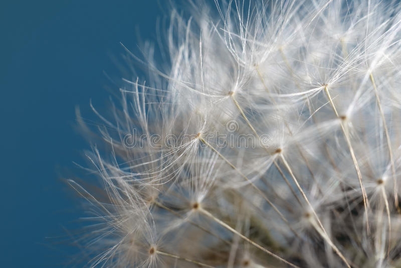 Download Dandelion stock photo. Image of field, flora, closeup - 39938724