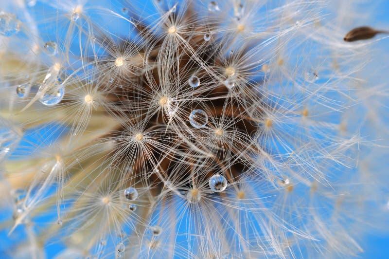Dandelion closeup on blue sky stock photography