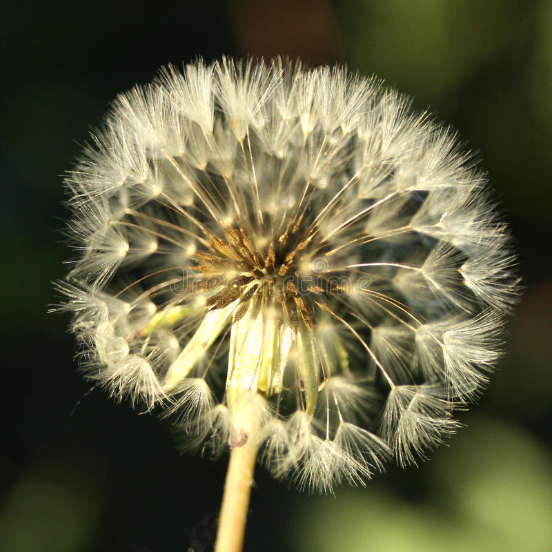 Dandelion White Globular Head Of Seeds On The Blue Sky: Dandelion Head With Dew Picture. Image: 82947570