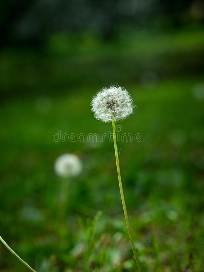 Dandelion closeup on the grass stock image