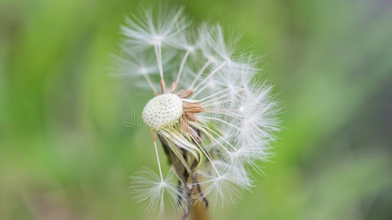 Close up of an incomplete dandelion. Dandelion closeup with a green background, early Autumn royalty free stock image