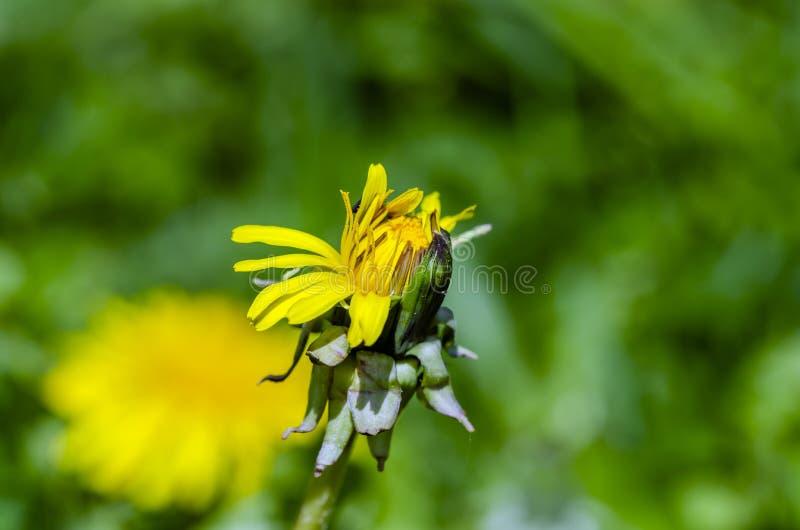 Dandelion comum com campo de fundo fotos de stock