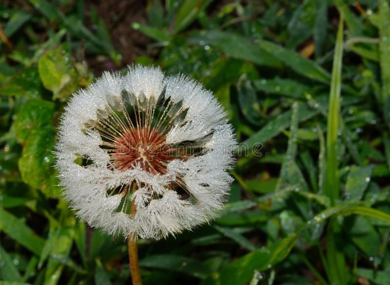 Dandelion covered in dew drops stock photos