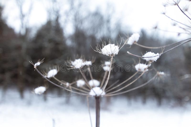 Dandelion covered in snow in a snowy forest. stock photos