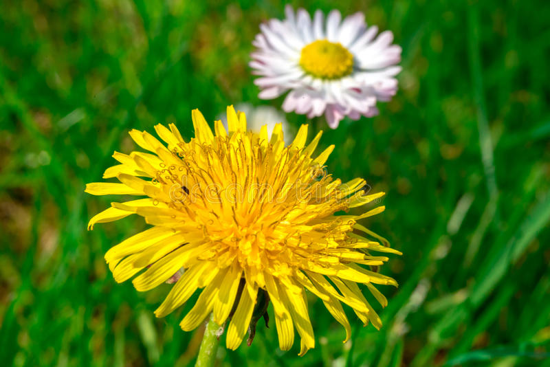 Dandelion and daisy in green grass field stock photos