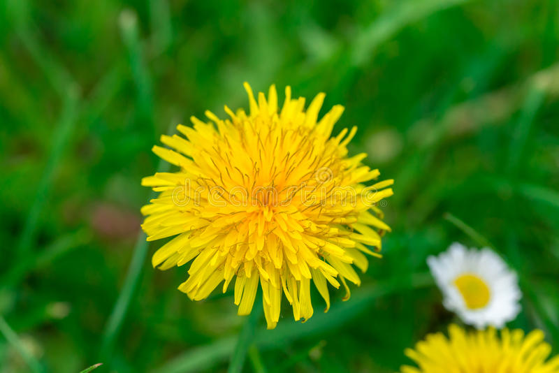 Dandelion and daisy in green grass field stock photography