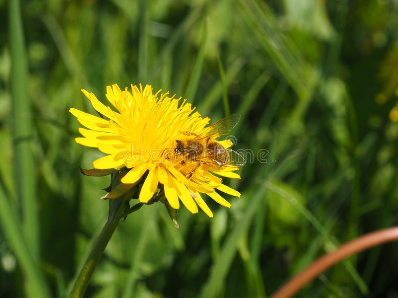 Dandelion. A dandelionfield in spring with sun stock image