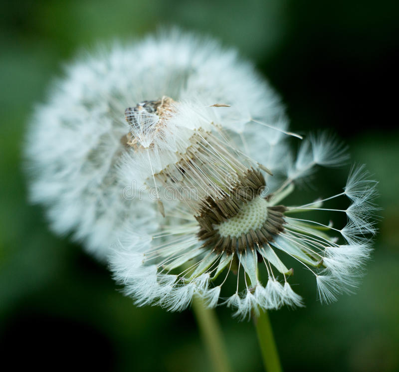 Dandelion Delight. The beauty and perfection of a dandelion going to seed. Not a weed but natures delight stock photo