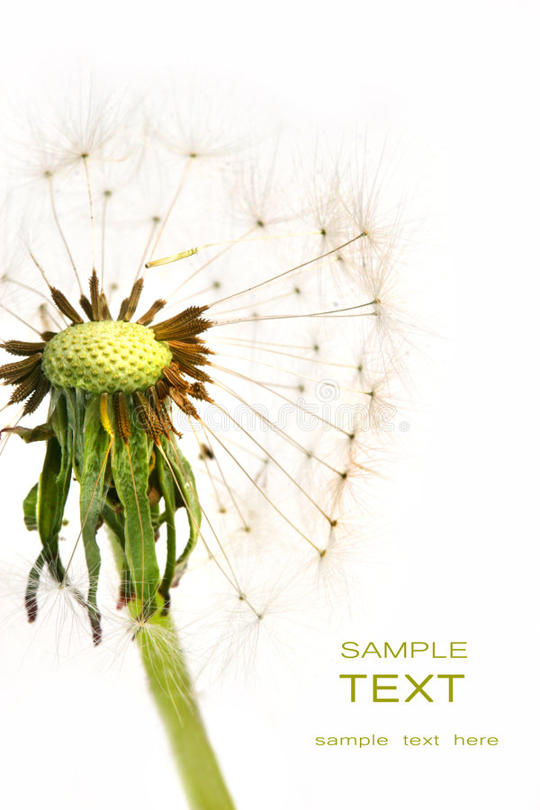 Dandelion detail isolated on white royalty free stock images