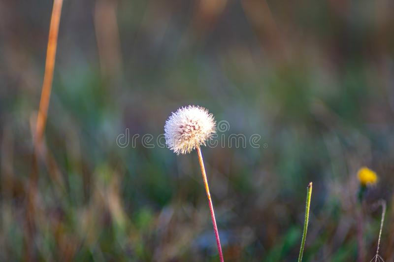 Dandelion in the dew close-up. Dandelion in the dew closeup autumn day stock photos