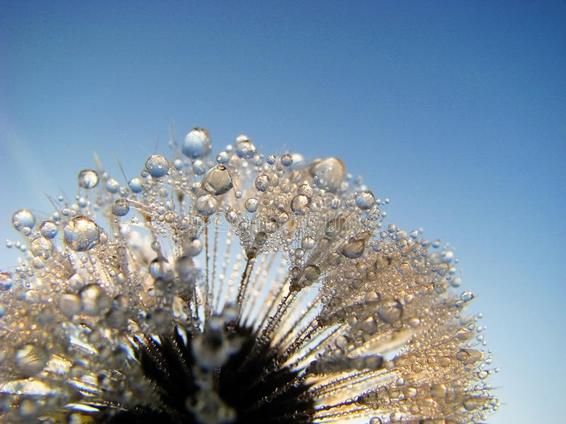 Dandelion Dew Drops royalty free stock photos