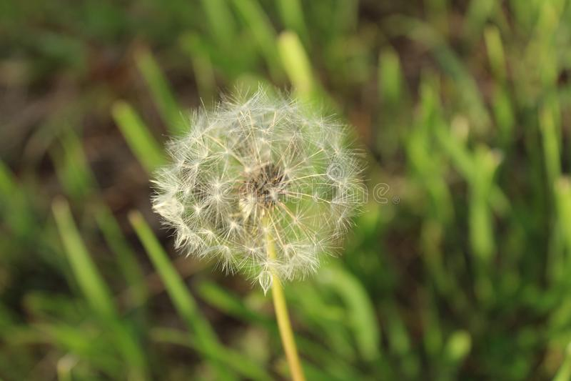 Dandelion dokładne spojrzenia ładni zdjęcie stock