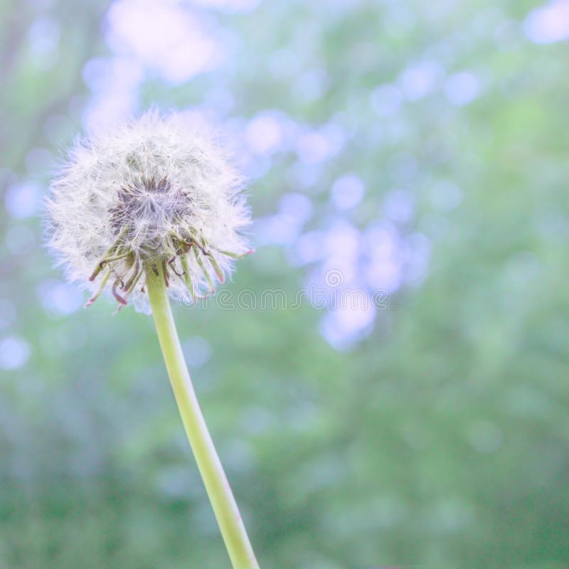 Dandelion white fluffy flower with abstract color on natural blue-green blurred spring background, selective focus. stock photo