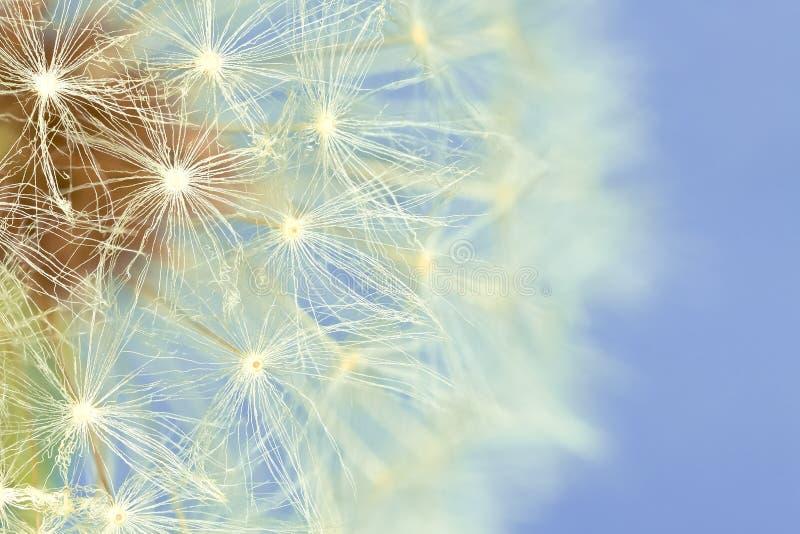 dandelion ekstremum macro fotografia stock